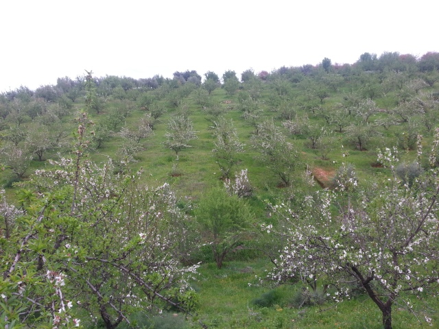 Almond trees in full bloom, on my husband's family farm in Morocco